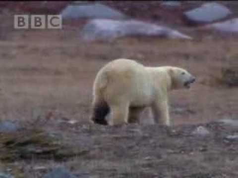 Polar bear conservation - BBC wildlife
