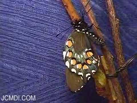 Pipevine Swallowtail Butterfly emerges (time-lapse)