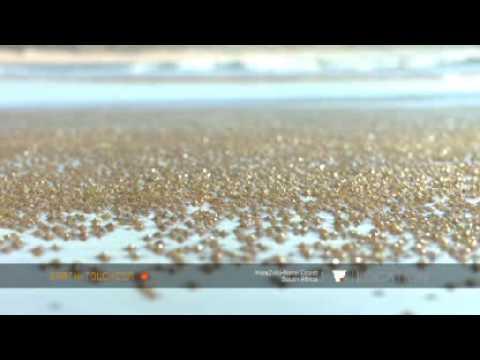 Rare sighting of paddler crabs migrating back to Fresh water