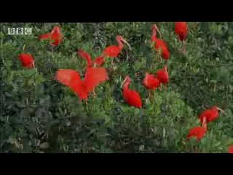 Trinidad & the Scarlet Ibis- Wild Caribbean - BBC Nature
