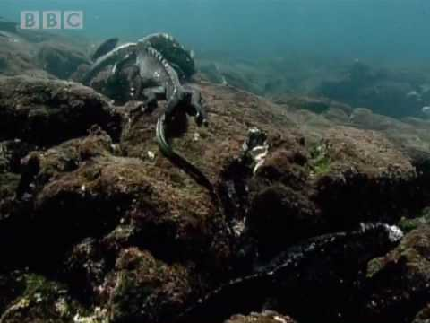 Swimming Marine Iguanas - Galapagos - BBC Earth