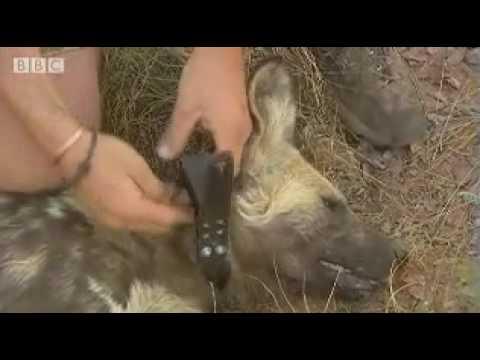 Wild puppy rescue by African bush team  - BBC wildlife