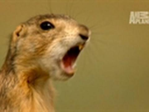 Wild Kingdom- Prairie Dog Language