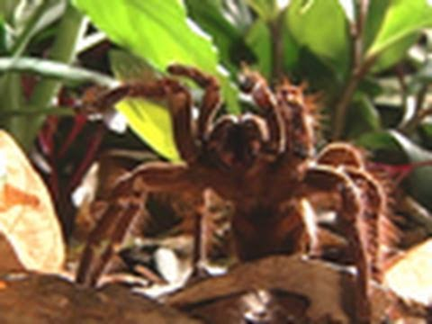 Survival Guide: Tarantula