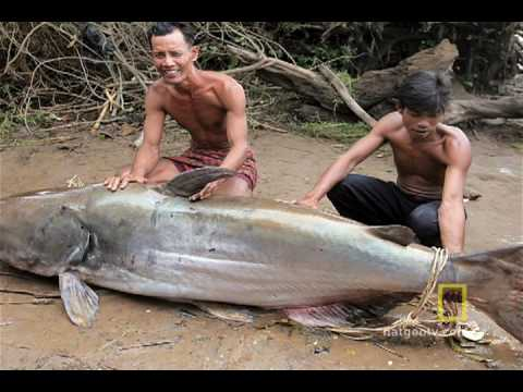 The Elusive Giant Catfish
