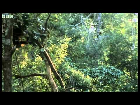 Orangutans feeding in the trees - Wild Indonesia - BBC