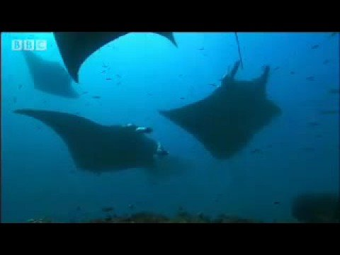 Swimming with a Manta Ray- Shark Therapy - Big Sharks- BBC Wildlife