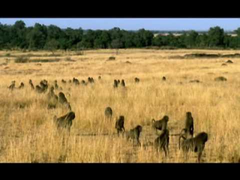 NATURE   Clever Monkeys   Baboon Hunts Baby Gazelle   PBS