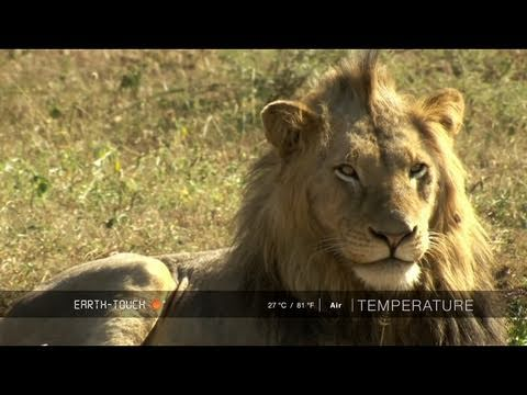 Up close with four male lions