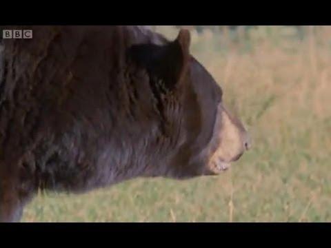 Wildfire panic - Big Sky Bears - BBC