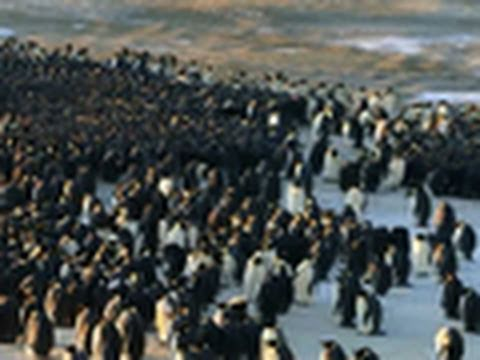 Penguins Do the Wave to Keep Warm
