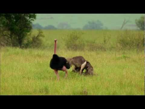 Wild Wives of Africa - The Flirtatious Ostrich