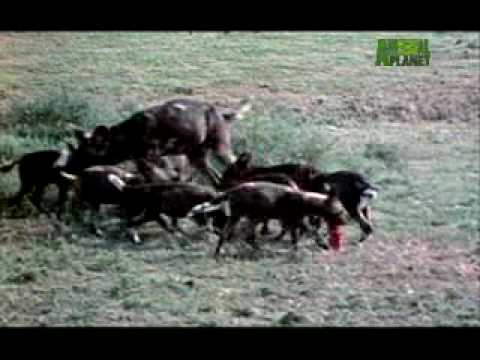 Ultimate Animal Dads:  Wild Dogs