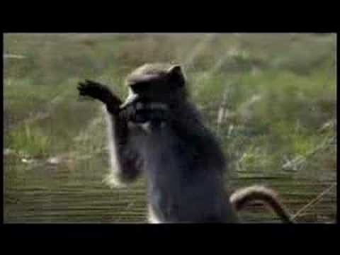 PLANET EARTH -- Baboons in the Water
