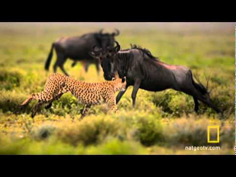 Wildebeest Death Trek