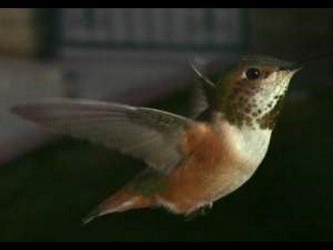 Slow Motion Hummingbirds 2 HD 720p