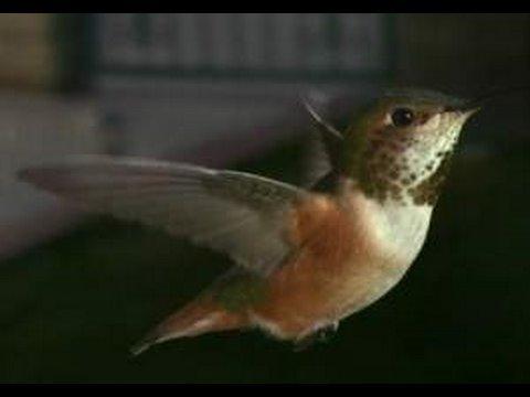Slow Motion Hummingbirds 2 HD 720p