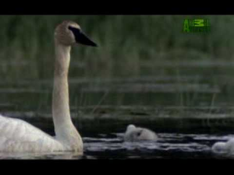 Ultimate Animal Dads: Trumpeter Swans