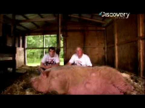 Pig Bomb - Super Pigs