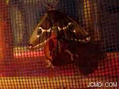 White-Streaked Silkmoth female activates in reduced light