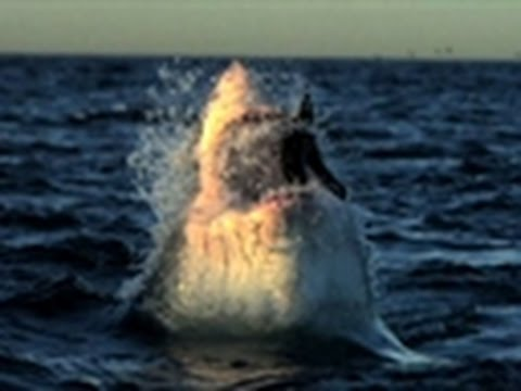 Shark Week - Rogue Sharks   Studying Rogues