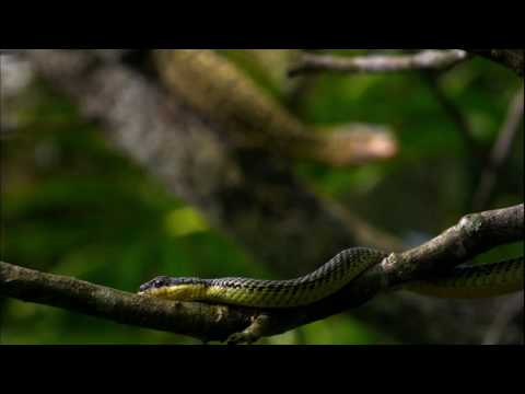 NATURE | Moment of Impact Part 2 | Snake Takes Flight | PBS