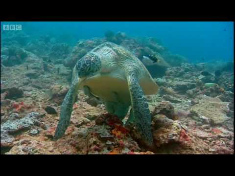 Turtle spa! - Turtle's Guide to the Pacific - BBC