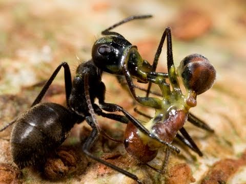 Slavery Rife Among Lake Tahoe's Ant Colonies