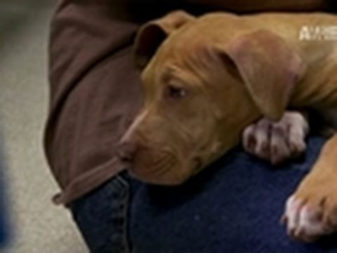 Pit Bulls & Parolees- Odd Story of Survival