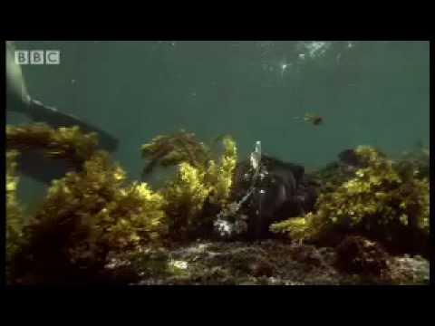 Sneezing free diving Iguanas - Dive Galapagos - BBC wildlife
