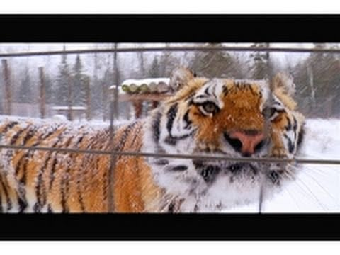 Snow Falling on Tigers
