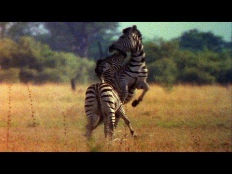 World's Deadliest - Zebra vs. Zebra