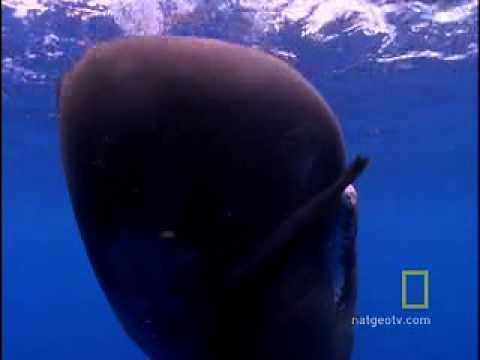 Sperm Whale Diving