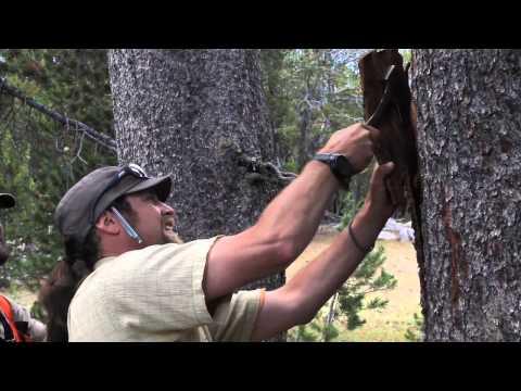 TreeFight: Protecting the White Bark Pine