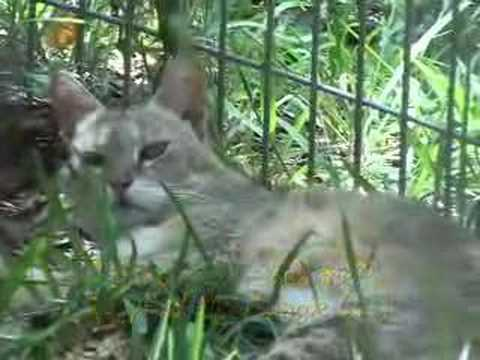 Tiger vs Turtle - Fishing Cat vs Fish!