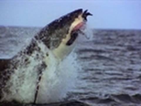 Ultimate Air Jaws - Normal Prey | Shark Week 2010