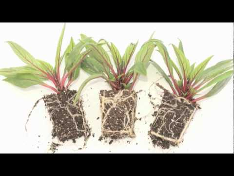 What is a root-bound plant?