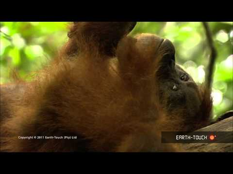 Orangutan Opus - Tchaikovsky and wildlife