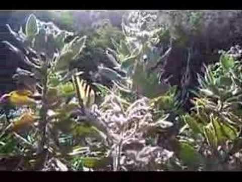 Western Tiger Swallowtail Butterflies Nectaring