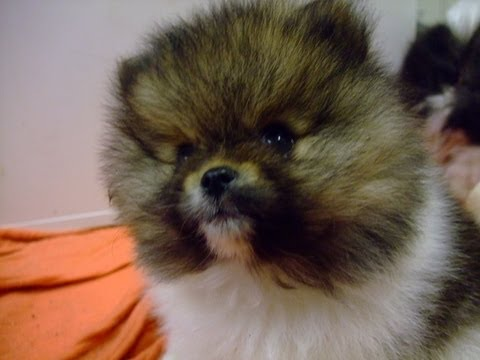 Starsky & Hutch @ 7 weeks old Pomeranian puppies playing