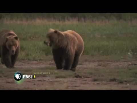 NATURE | Bears of the Last Frontier | Interview with bear biologist Chris Morgan | PBS