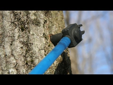 Tap Maple Trees to Make Maple Syrup How To GardenFork.TV