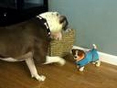 Pit Bulls, Everyone's Friend | Decision 2012