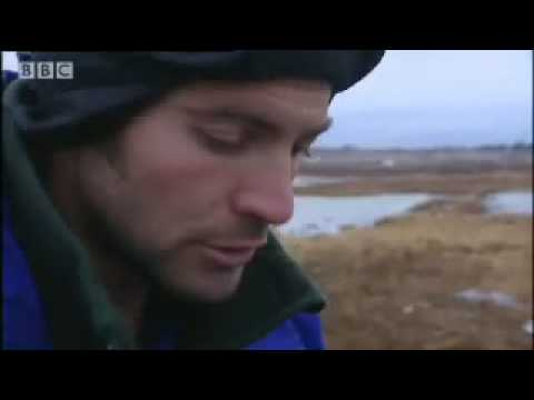 Welcome to bear jail - Vets in the Polar Bear Wild - BBC animals