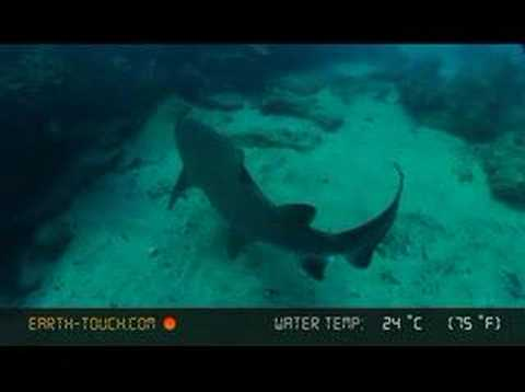 Pregnant sharks hug the reef