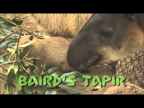 San Diego Zoo Kids - Tapirs