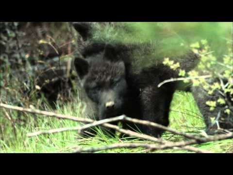 NATURE | River of No Return | Pups Right Off the Trail | PBS