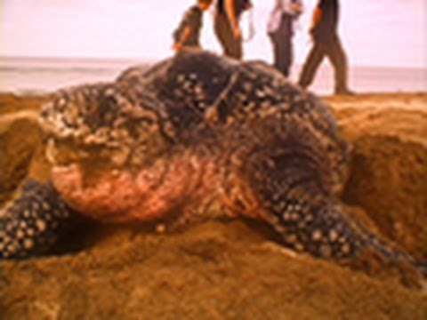 Sea Turtles Match Breathing to Dive Depths?