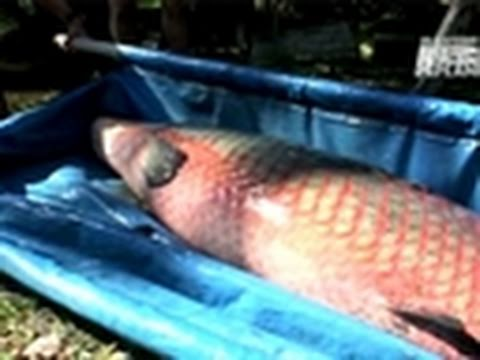 River Monsters- Rammed by an Arapaima