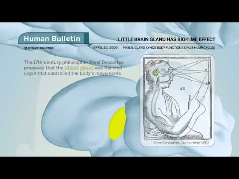 Science Bulletins: Little Brain Gland Has Big-Time Effect